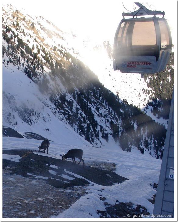 Австрия 2011. Stubaier Gletscher. Горные козы.