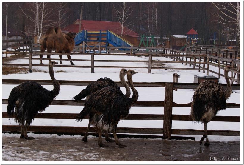Киевская область 2012. Конное ранчо и страусинная ферма