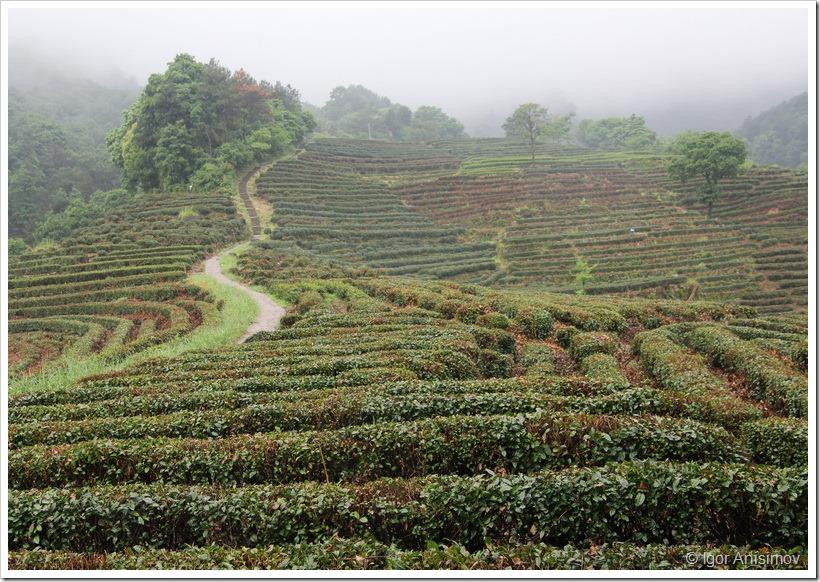 Китай 2013. Ханчжоу, чайная плантация